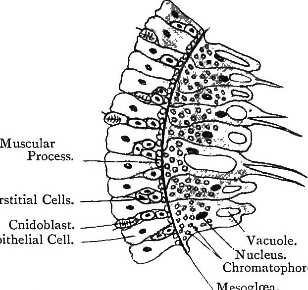 Image From Page 140 Of Elementary Text Book Of Zoology