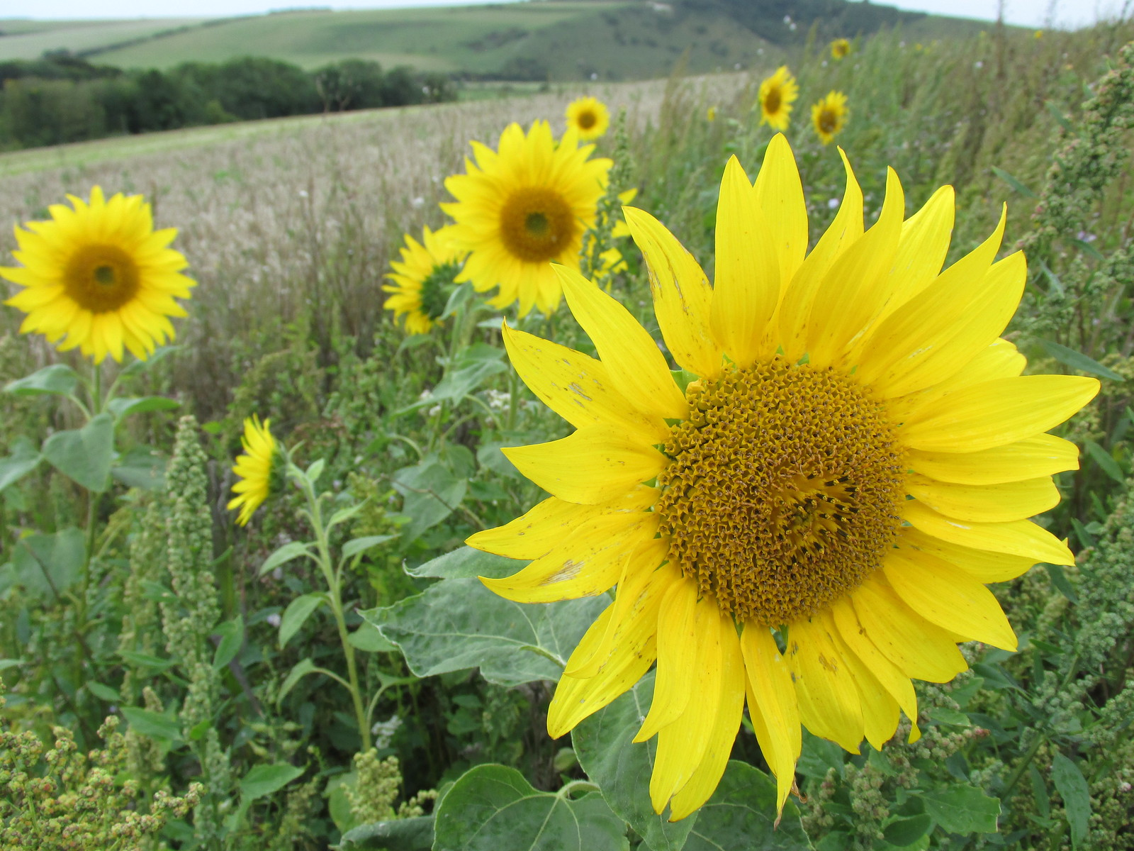 August 29, 2015: Lewes to Seaford South Downs sunflowers