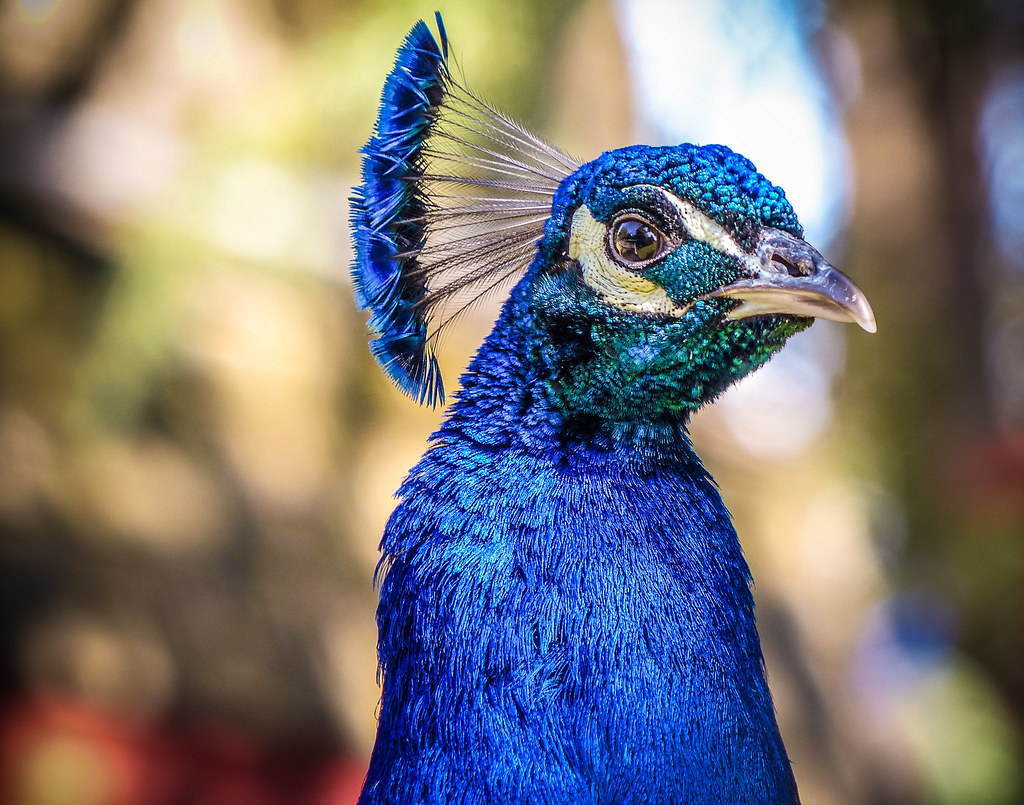 Portrait of a Peacock