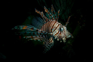 Lion Fish | by stuartgibbons95