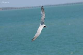Gull-billed Tern | by flickr quickr