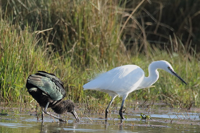 Glossy Ibis (Plegadis falcinellus) with Little Egret (Egretta garzetta)