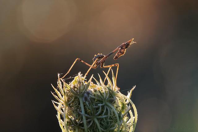 Empusa pennata juvenile ♀- Conehead mantis - Empuse commune juvénile ♀