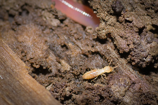 Subterranean Termite (Rhinotermitidae) | by acryptozoo
