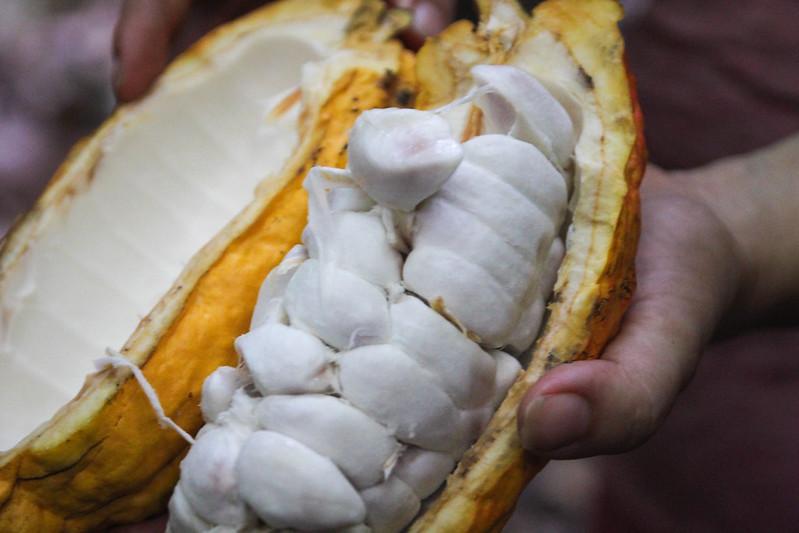 Opened Fresh Cacao Fruit