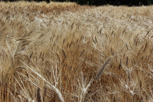 Durum wheat varieties, Ethiopia | by Bioversity International