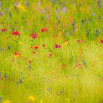 Texas Wildflowers Workshop_2015_Flowers