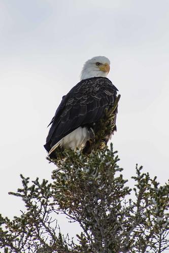 Bald Eagle | by james.paschini