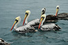 Peruvian Pelican (Pelecanus thagus) by Albert Michaud
