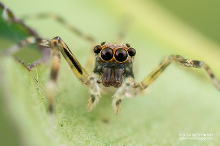 Jumping spider (cf. Spartaeus sp.) - DSC_4922