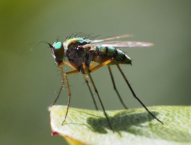 Green Long-legged Fly