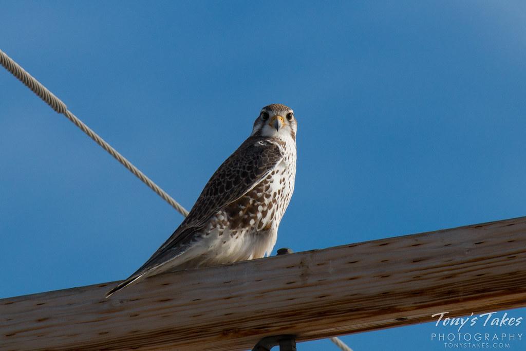 Prairie Falcon makes head on launch
