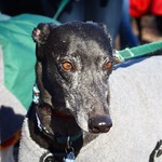 Greyhound Adventures at Horn Pond, Woburn MA, Dec 20th 2015