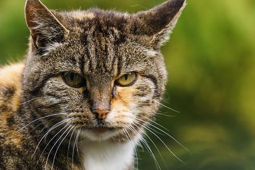 Neighbors cat | by Htbaa