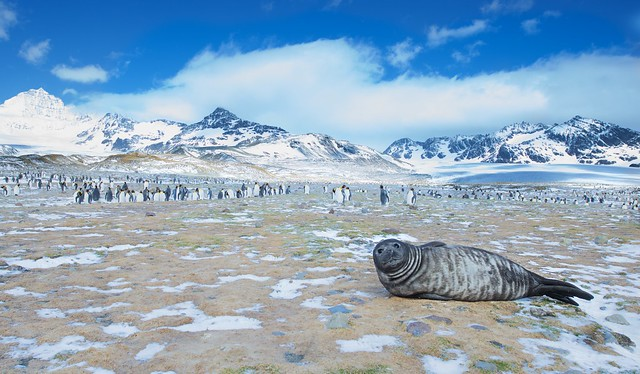 The Fur Seal and King Penguins