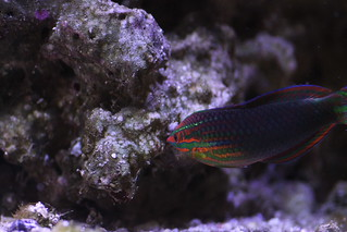 Red Stripe Wrasse Male | by christopheruthe