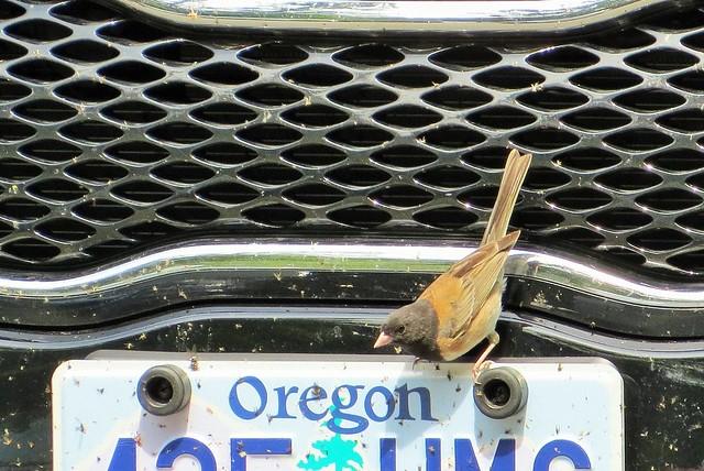 Oregon Junco. Who knew?