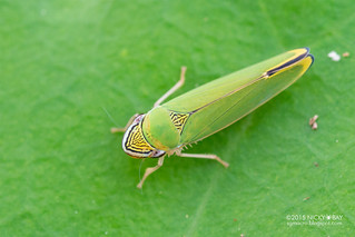 Leafhopper (Graphogonalia sp.) - DSC_9312