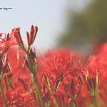 紅緋  Deep red scarlet