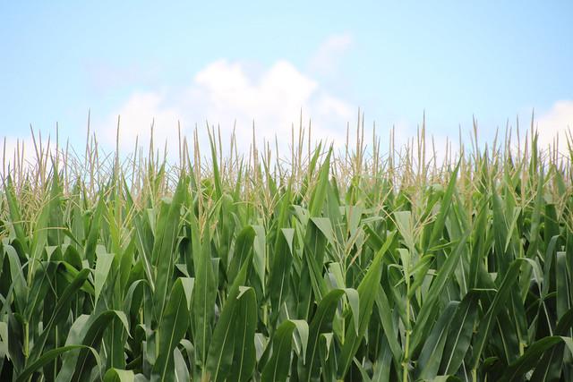 A corn field