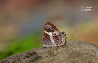 The Broad-banded Brilliant - ผีเสื้อประกายฟ้าแถบกว้าง | by Antonio Giudici Butterfly Trips