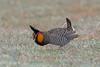 Greater Prairie-Chicken, Wray, Yuma, Colorado by Terathopius