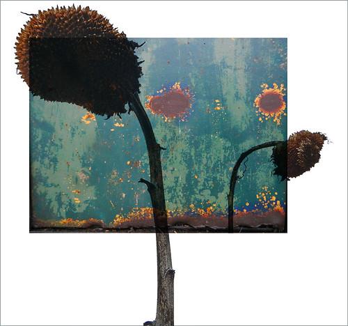 Dead sunflowers & rust composition