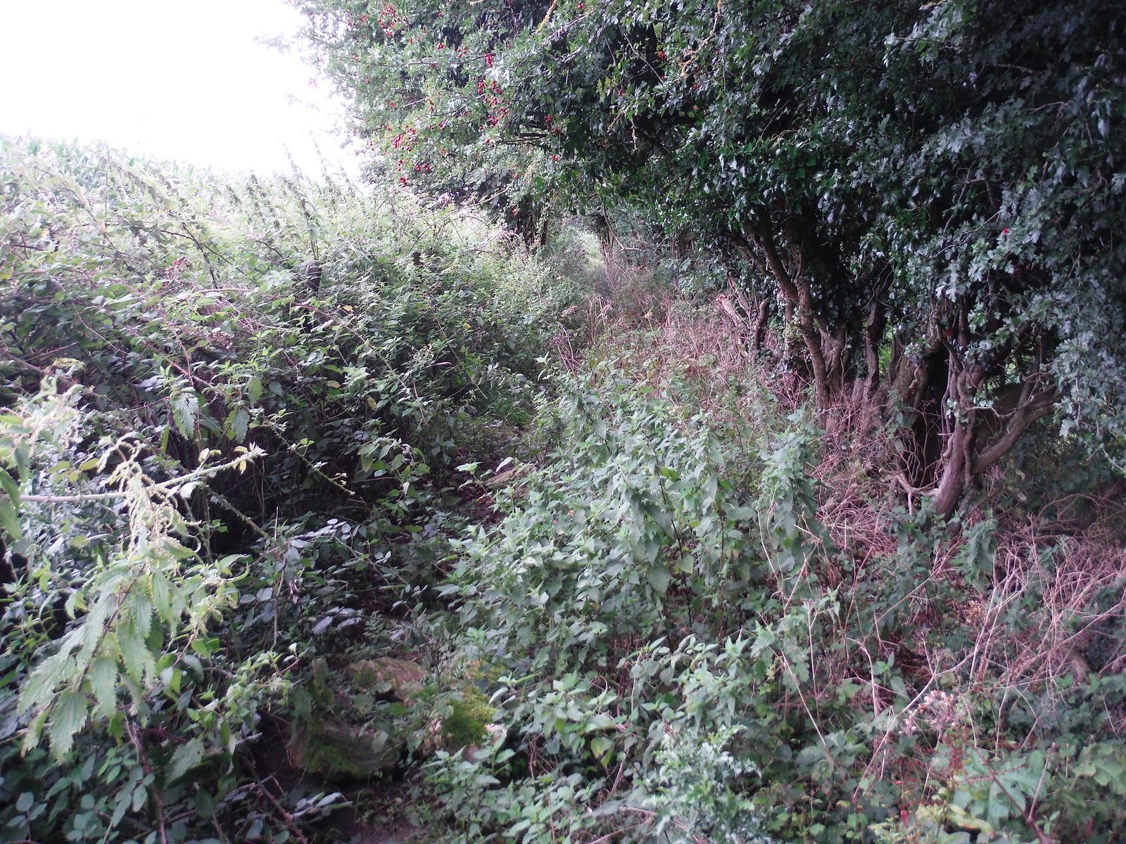 Often overgrown path in Oddford Vale SWC Walk 248 Tisbury Circular via Hindon