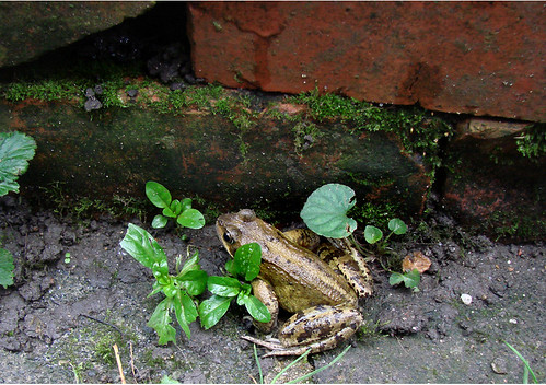 Frog Oct2015 | by http://wildaboutthebritishisles.uk