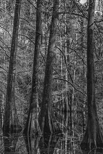 park morning trees blackandwhite bw monochrome jones us blackwhite texas unitedstates swamp cypress bog humble naturecenter jessejones jessehjones