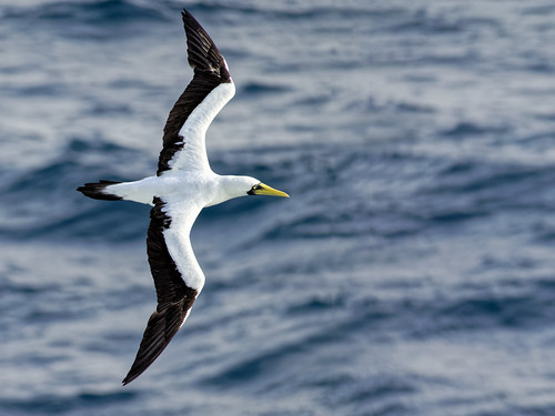 Masked Booby in flight | by Ed Rosack