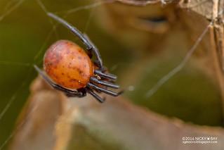 Comb-footed spider (Parasteatoda sp.) - DSC_4574