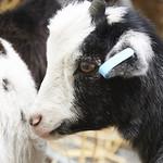 Goats | Gorgie City Farm brought 2 lovely miniature pigmy goats to be named at the Edinburgh International Book Festival © Helen Jones