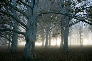 Trees in fog PM