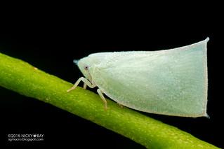 Flatid planthopper (Flatidae) - DSC_8114