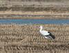 Oriental Stork (Ciconia boyciana) by Batmunkh89
