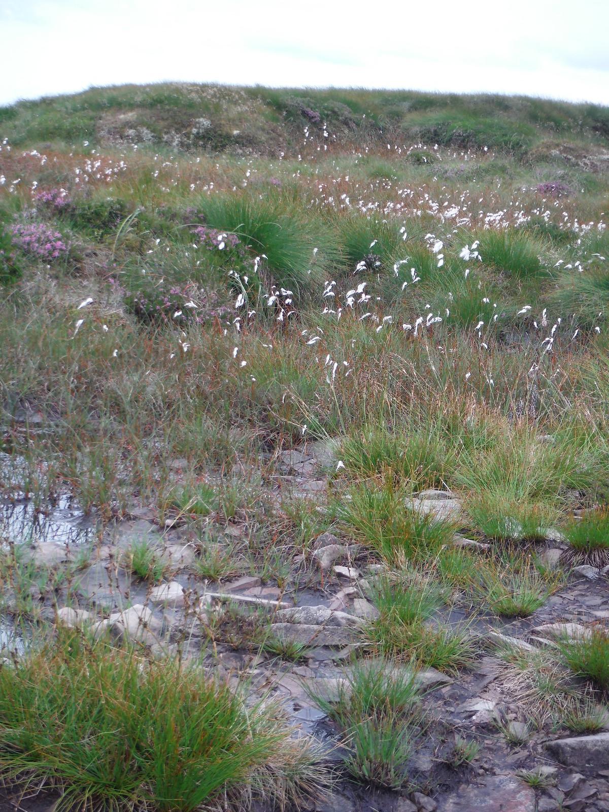 Upland Bog on Graig Fan Ddu SWC Walk 278 Breacon Beacons Horseshoe - Bannau Brycheiniog