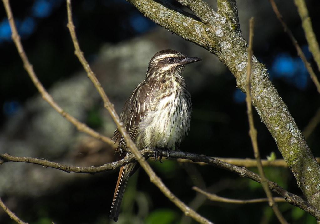 peitica (Empidonomus varius) Variegated Flycatcher