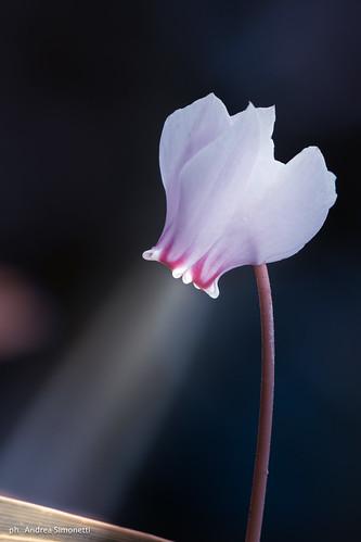 fiore faro :-)