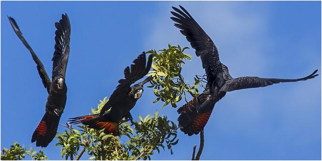 Cockatoo commotion