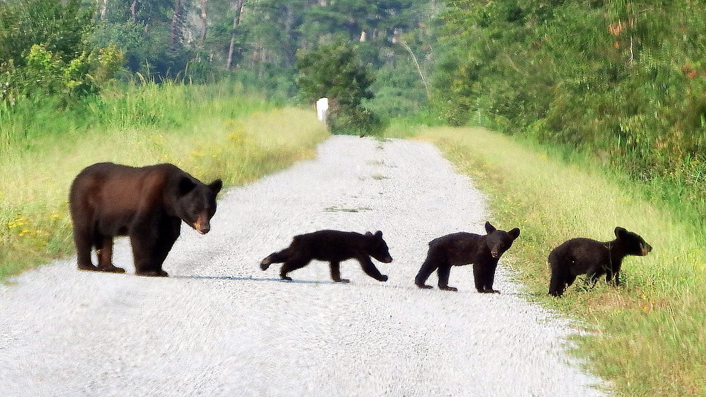 Image result for black bears three cubs""