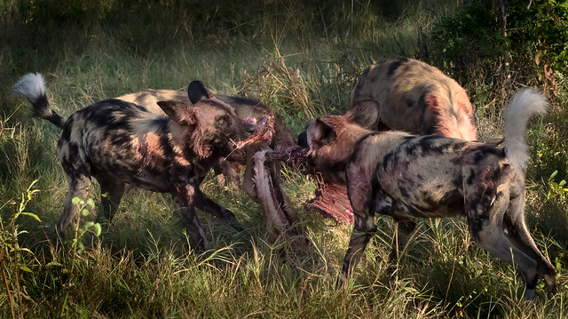 Painted Dogs at Breakfast