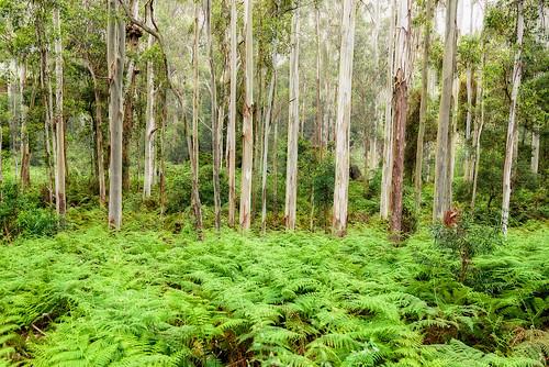 trees forest landscape gums queensland ferns eucalypts gumtrees mainrangenationalpark