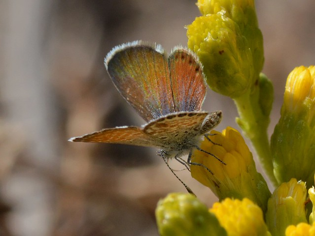 Western Pygmy Blue (Brephidium exile) butterfly working a still-new flower of native Coastal Goldenbush