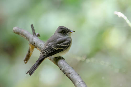 easternwoodpewee explore explored contopusvirens 1000views onethousandviews
