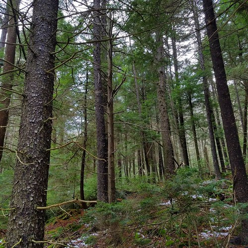 Spruce forest, Stony Brook, SGL 57