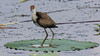 Comb-Crested Jacana (Irediparra gallinacea) (immature).01 by Geoff Whalan