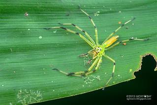Jumping spider (Lyssomanes sp.) - DSC_3547