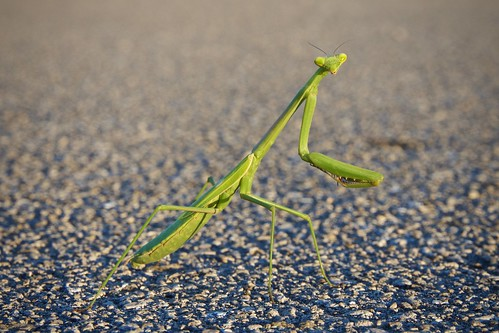 road macro green insect nikon nikkor prayingmantis bugeyes d7200