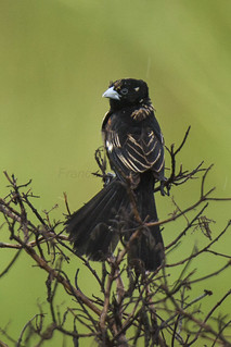 White-winged Widowbird - Uganda_H8O3650